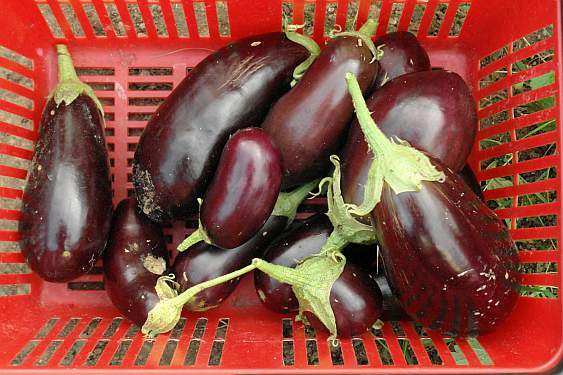 die-letzten-auberginen