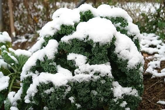 gruenkohl-unter-schnee