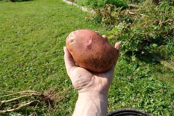 kartoffel-in-der-hand