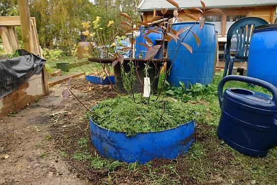 neu-gepflanzte-apfelbeere