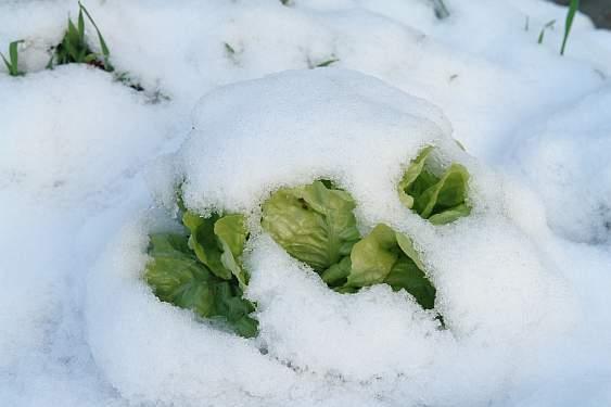 salat-unter-schnee