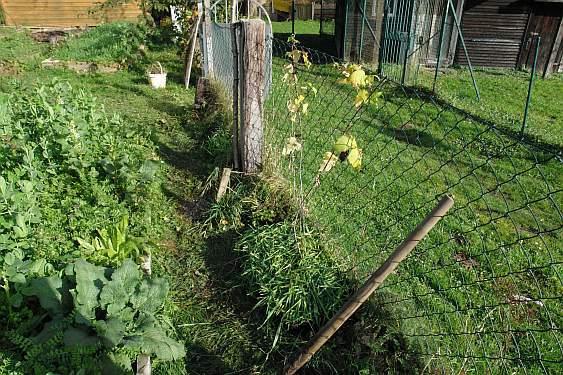 schwarze-himbeere-gepflanzt