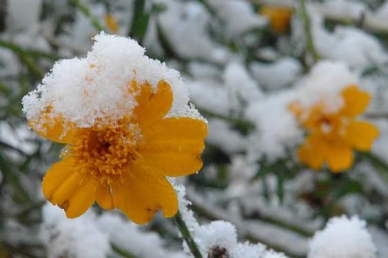 tagetes-unter-schnee