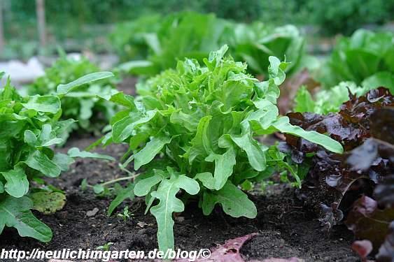 abgefressener-salat