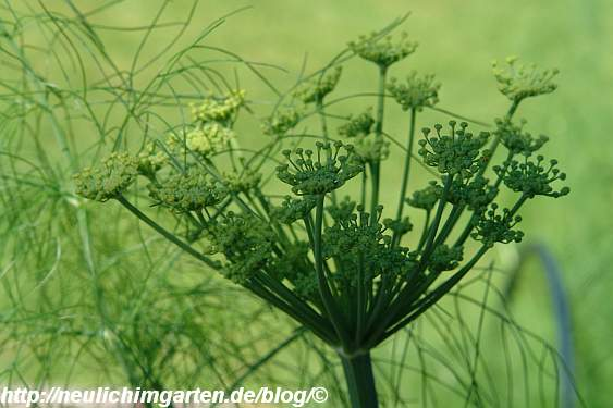 bluehender-fenchel