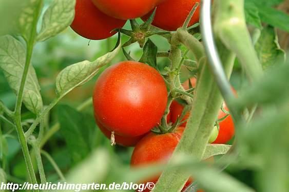 diese-tomaten-sind-schon-reif