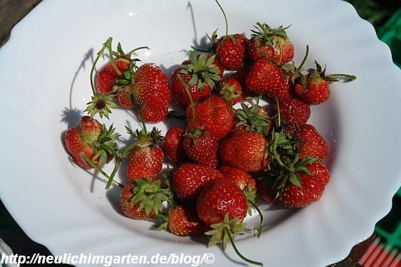 ein-teller-erdbeeren