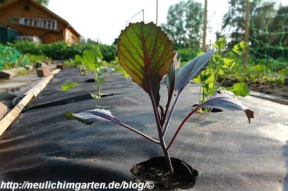 einzelne-rotkohlpflanze