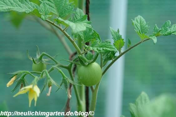 einzelne-tomate