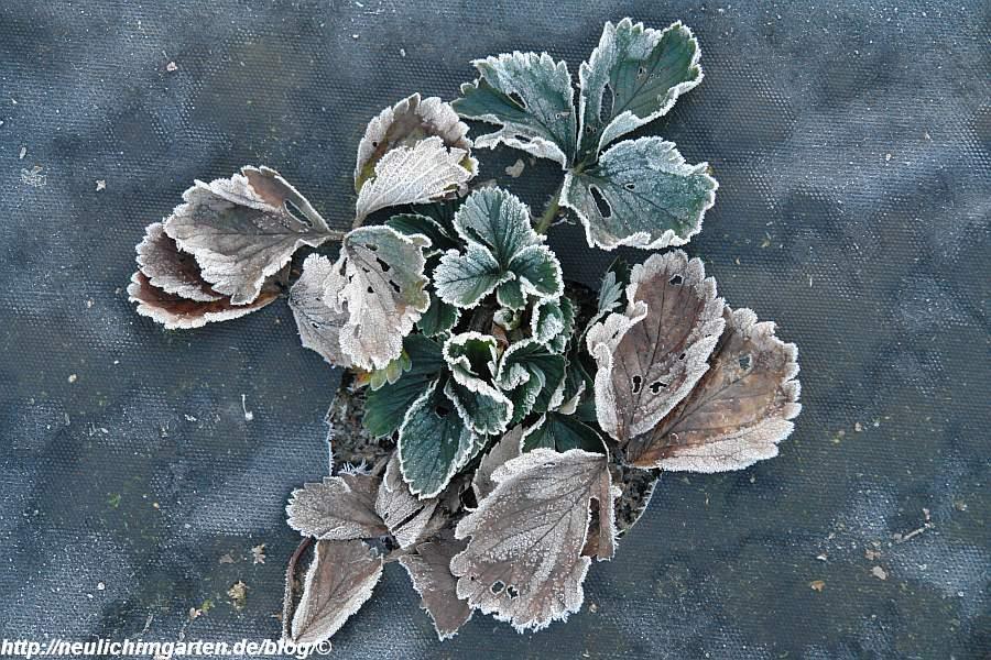 erdbeere-im-frost