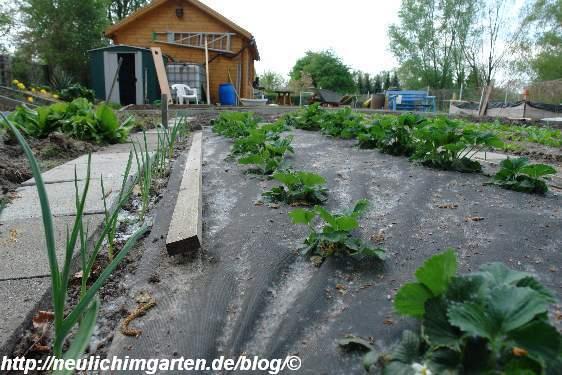erdbeeren-auf-mulchvlies
