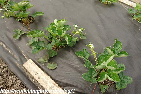 erdbeeren-neu-gepflanzt