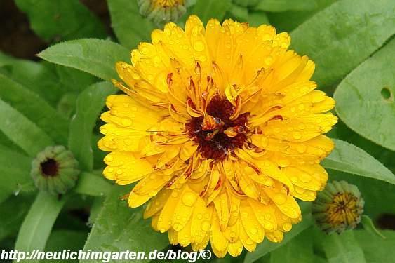gelbe-ringelblume