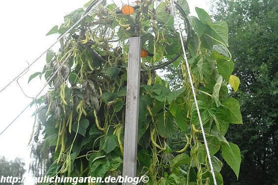 gelbe-stangenbohnen