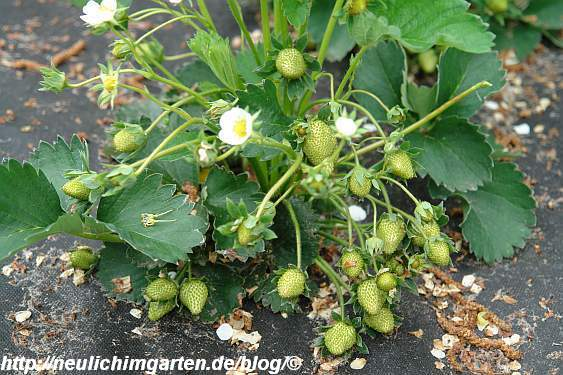 gruene-erdbeeren1