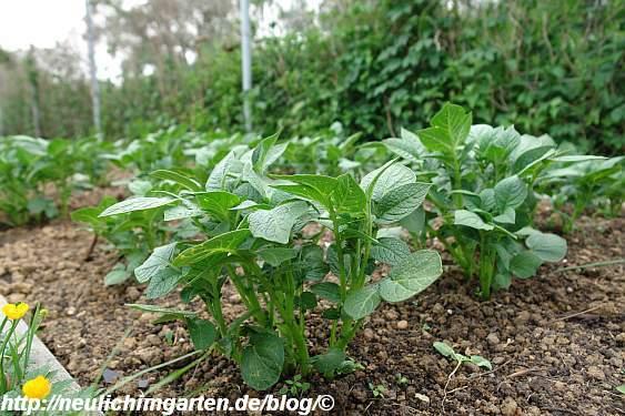junge-kartoffelpflanze