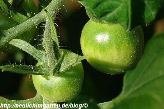 noch kleine tomaten selbstversorgung aus dem eignen garten. Black Bedroom Furniture Sets. Home Design Ideas