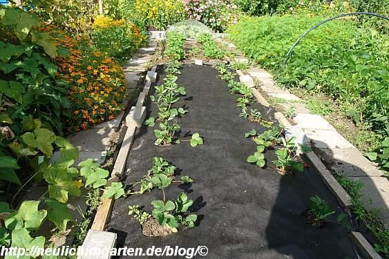 wir haben weitere vier meter erdbeeren gepflanzt. Black Bedroom Furniture Sets. Home Design Ideas