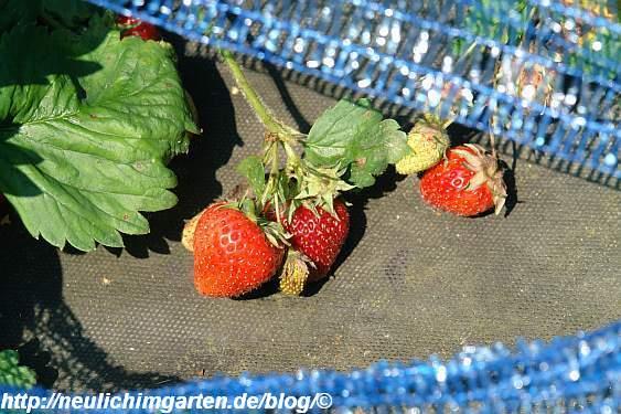 noch-erdbeeren