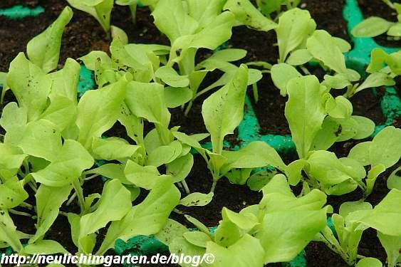 salatjungpflanzen