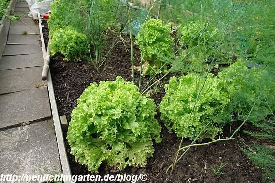 schoene-salatkoepfe