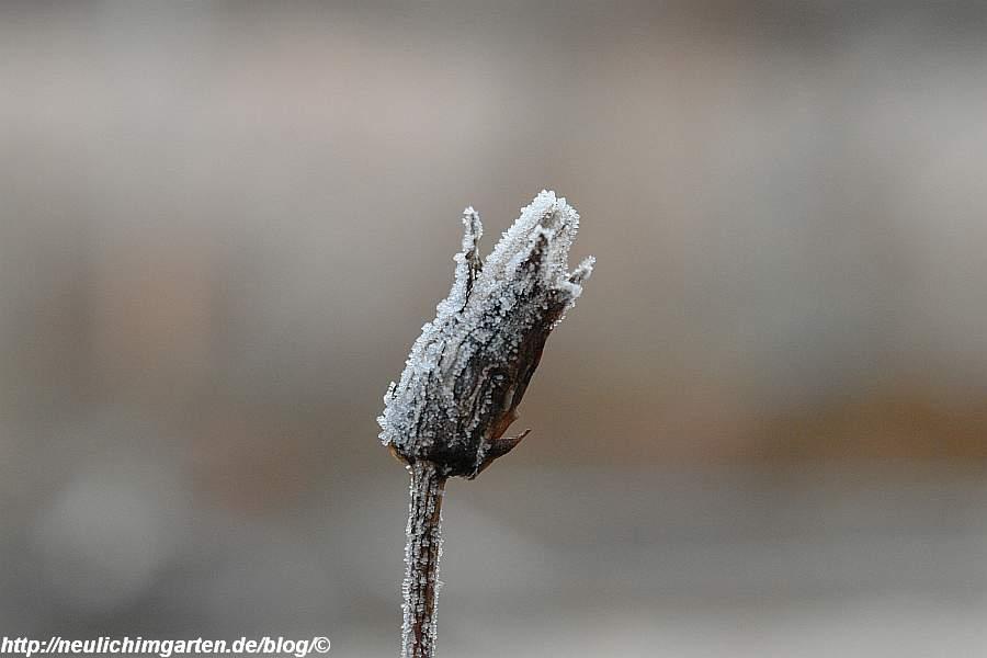 schwarzwurzelbluete-mit-frost