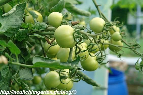 tomaten-sind-noch-klein