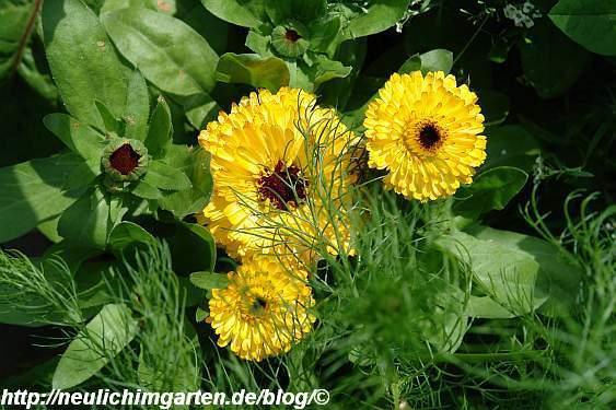 gelbe-ringelblumen