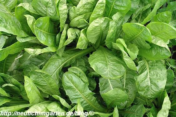 gruener-salat