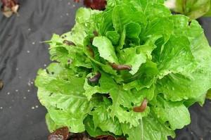 salat-mit-schnecken