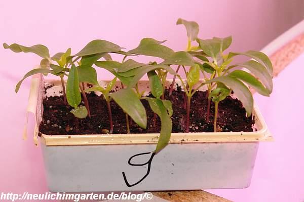 paprika-fruehzauber-jungpflanze