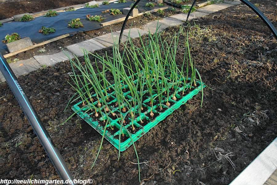 vorgezogene-zwiebeln-vor-auspflanzen