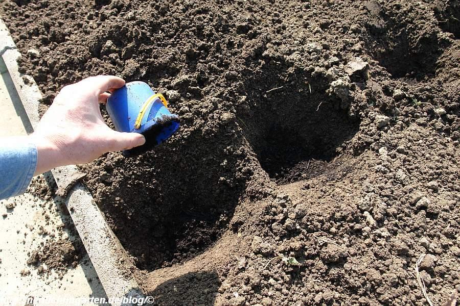 kartoffelpflanzloch-kompostgabe