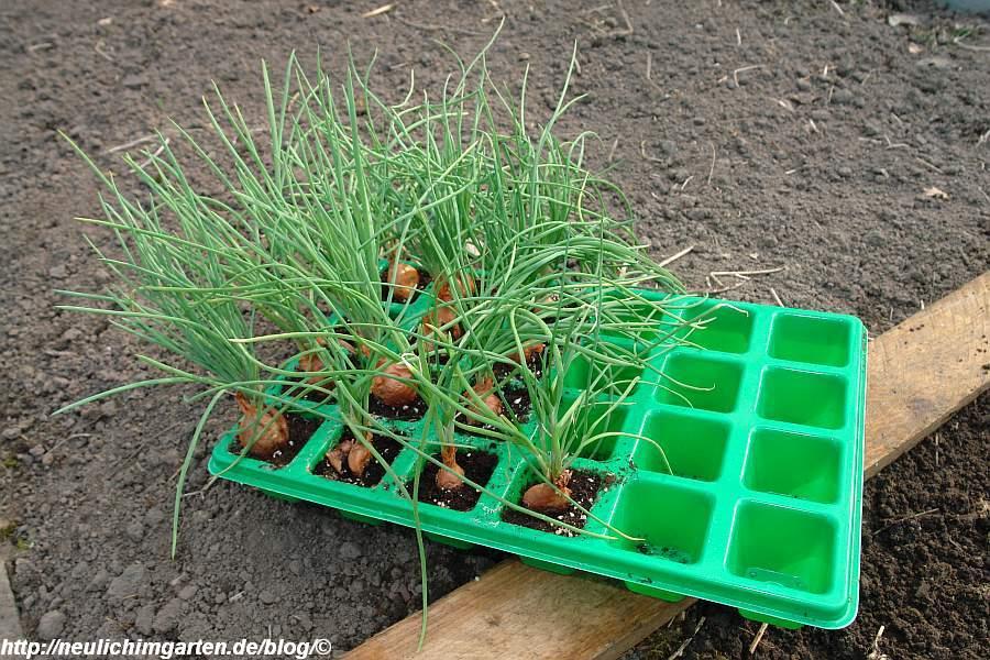 vorgezogene-schalotten-vor-dem-auspflanzen