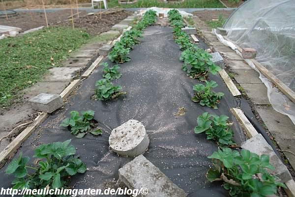 duengen-von-erdbeeren