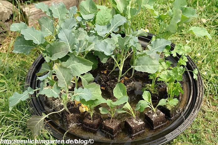 gekaufte-kohlpflanzen