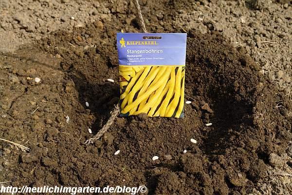 gelbe-stangenbohnen-saat