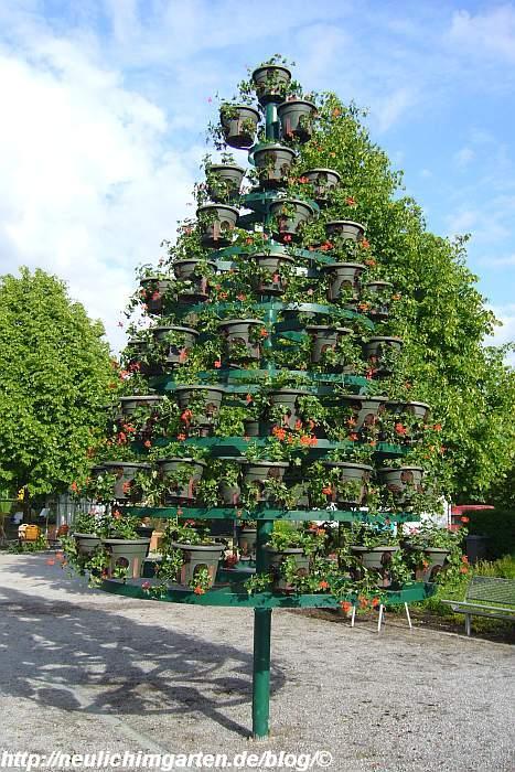 geranienbaum