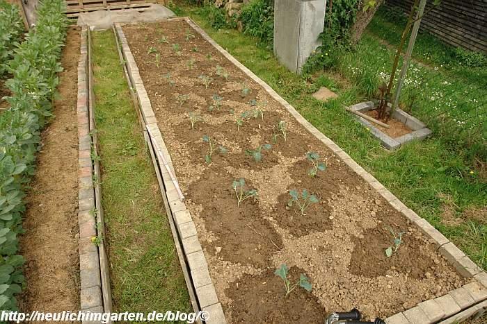 kohlbeet-bepflanzt