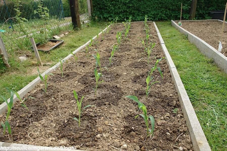 maisbeet-bepflanzt