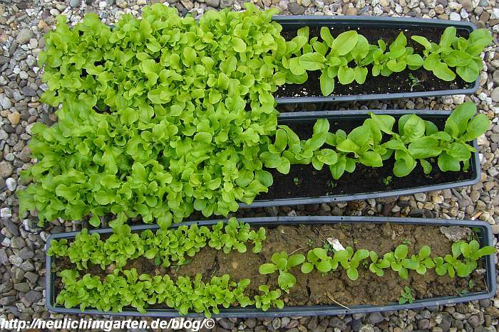 salat-im-blumenkasten-test-2