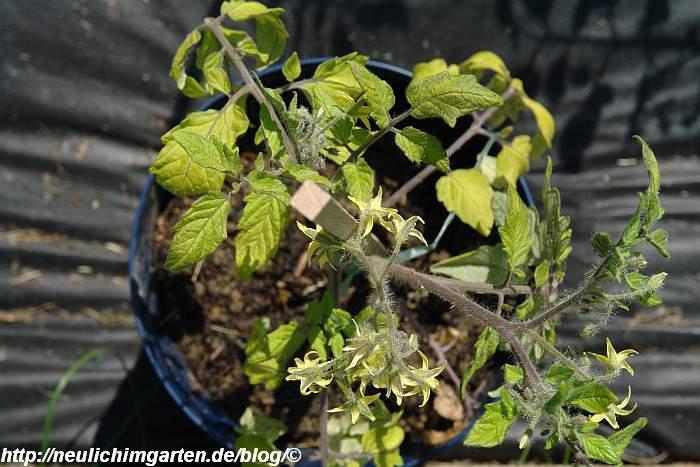 tomaten-freiland-gartenerde