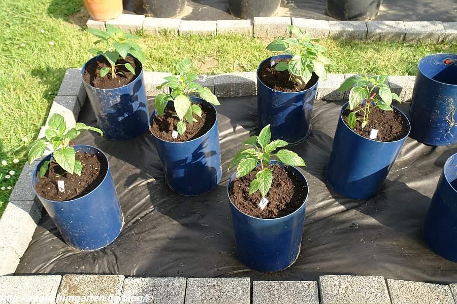 die-ersten-paprika-in-kuebel-gepflanzt