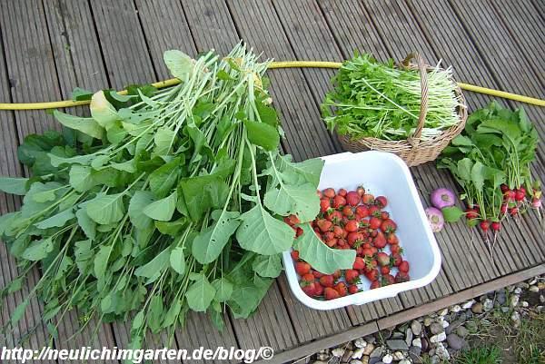 ernte-stielmus-radieschen-abessinischer-kohl-erdbeeren-mairueben