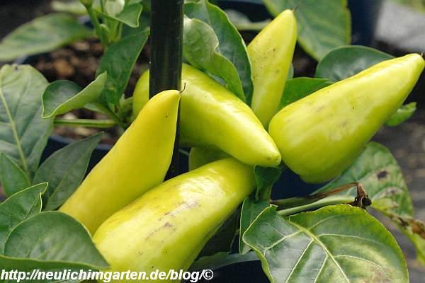 gelbe-paprika