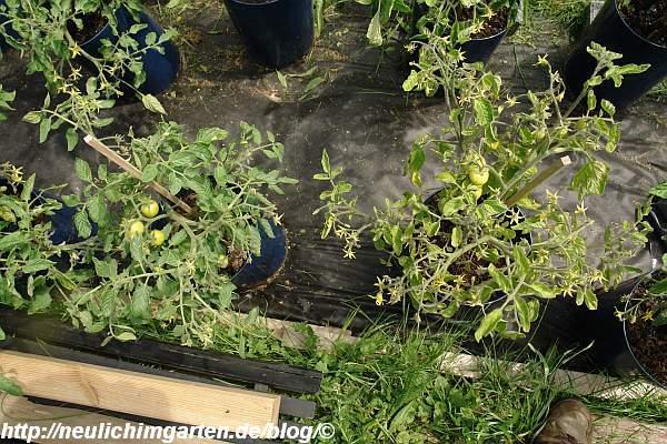 gelbliche-tomatenpflanze-fehlerhafte-duengung