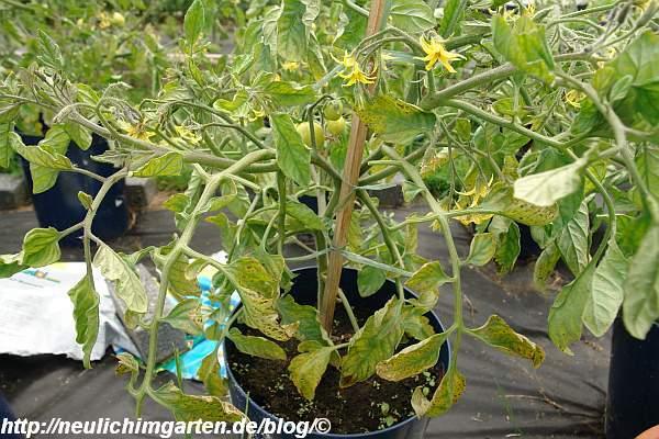 kranke-tomatenpflanze