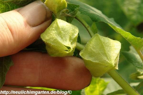 ananaskirschen-am-strauch