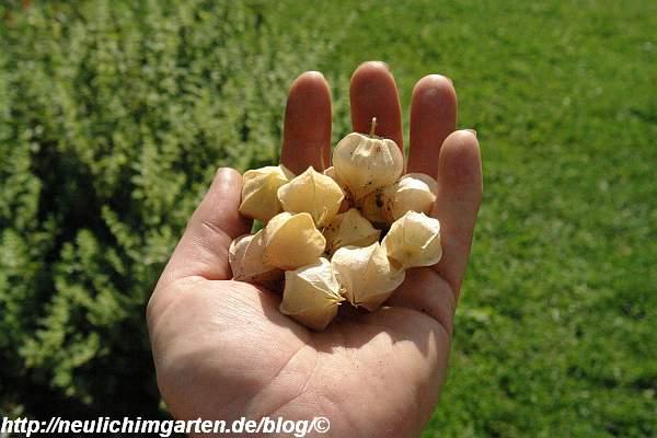 ananaskirschen-in-hand