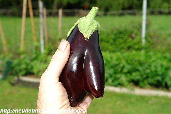 erste-aubergine-2009